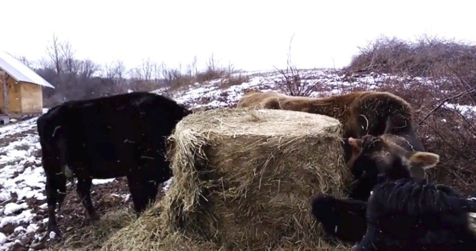 What do grassfed cows eat in the winter time?